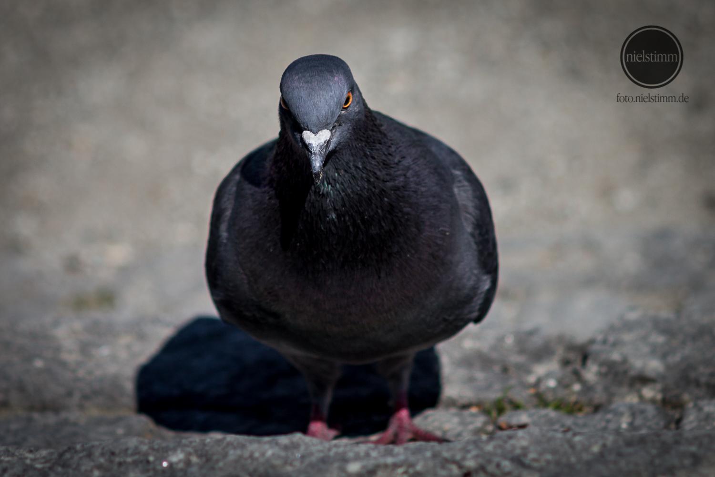 Angry Pidgeon